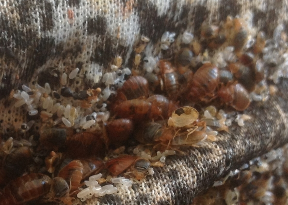 bed-bug-cluster-on-mattress-2